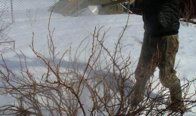 Обработка кустов смородины кипятком