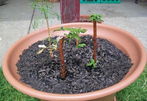 Черенки малины в ёмкости с землёй