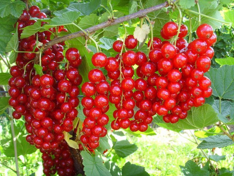 Посадка черной и красной смородины осенью