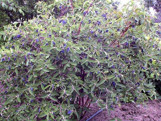 Ягоды на кусте жимолости сорта Синяя птица