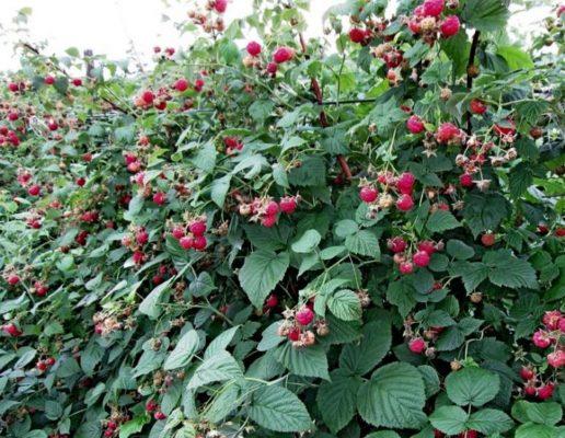 Куст малины Бабье лето с ягодами