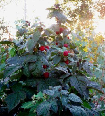 Куст малины Брусвяна с ягодами