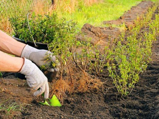 Высадка барбариса в грунт