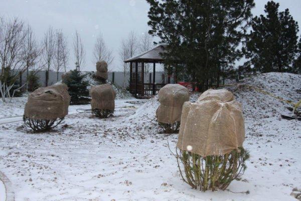 Кусты барбариса зимой