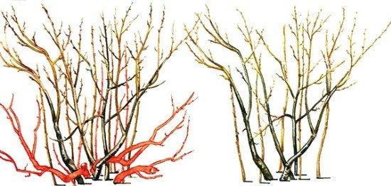 Схема обрезки барбариса