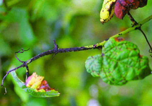 Листья винограда, поражённые антракнозом