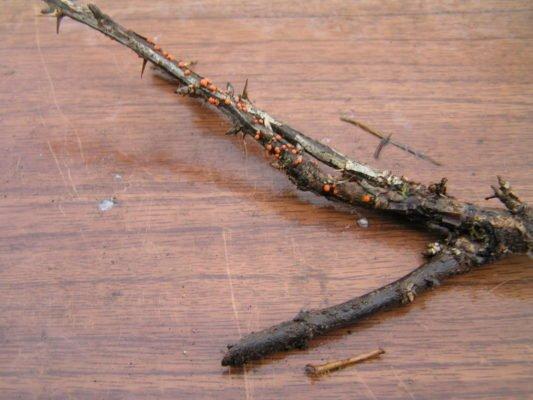Некроз коры барбариса