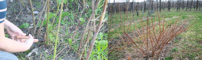 Старые побеги малины осенью и весной