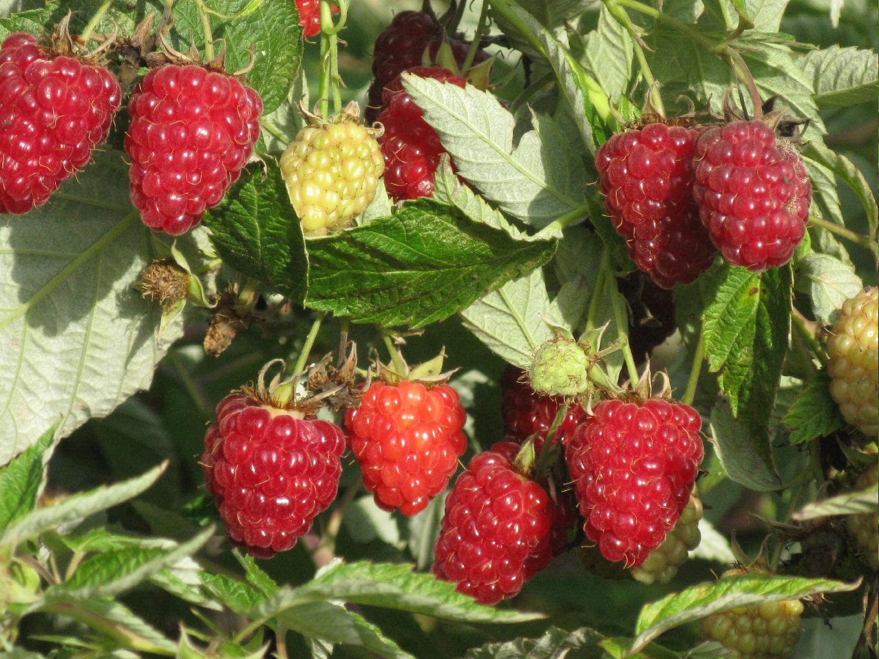 Малина Таганка: выращивание, посадка и уход за урожайным сортом