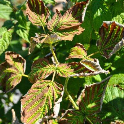 Курчавость листьев смородины
