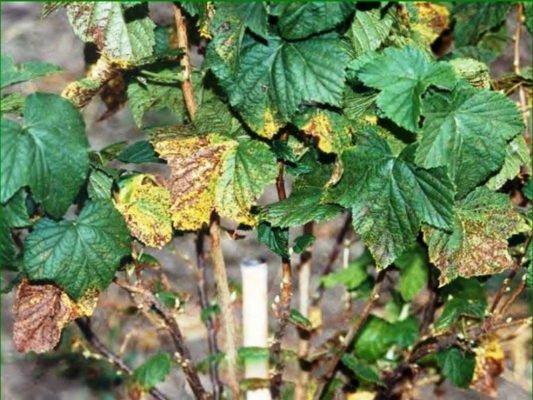 Поражённые болезнью листья смородины