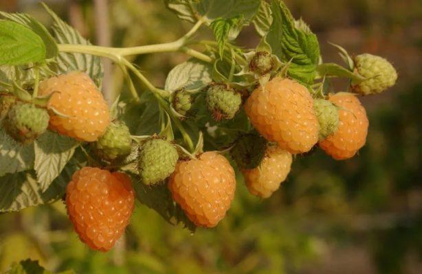 Плоды малины Жёлтый гигант