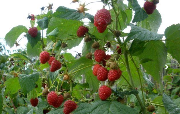 Куст малины Геракл с ягодами
