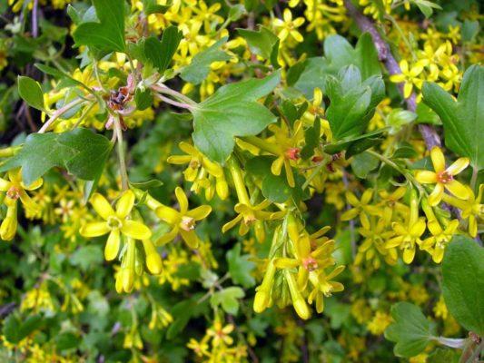 Золотистая смородина с цветами