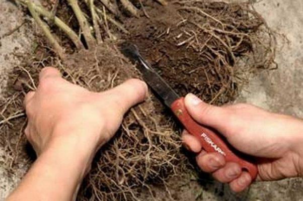 Разделение корневой системы куста