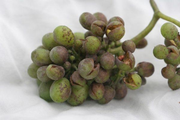 Ягоды винограда, поражённые мучнистой росой