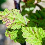 Септориоз на листьях