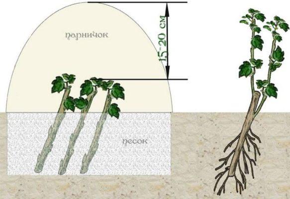 Схема размножения смородины черенками