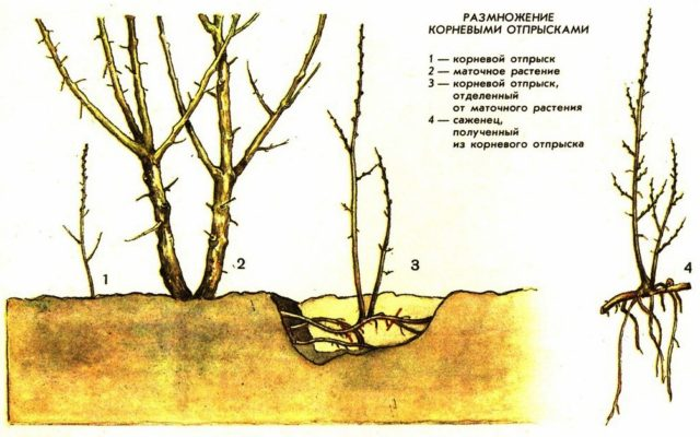 Размножение смородины корневыми отпрысками