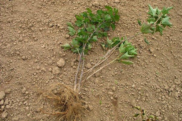 Саженец смородины с корнями