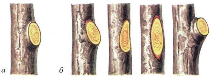 Обрезка смородины «на кольцо»