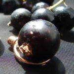 Смородина сорта Чёрный жемчуг