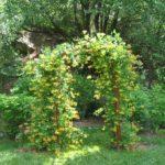 Выращивание жимолости на арке