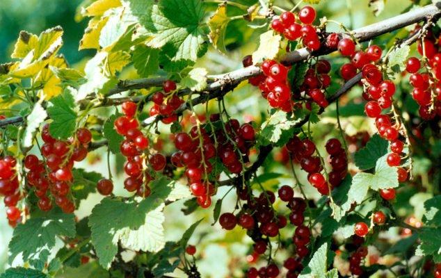 Красная смородина сорта Татьяна