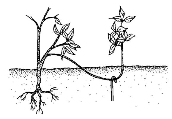 Отводок красной смородины