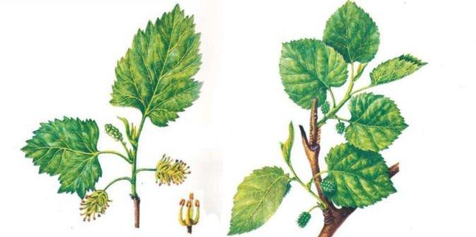 Мужские и женские цветы шелковицы