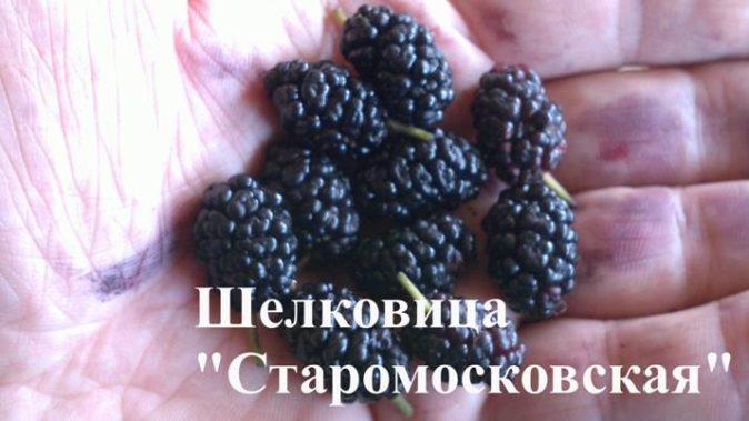 Шелковица Старомосковская