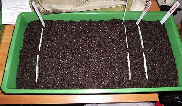 Высадка семян клубники