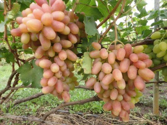 Грозди винограда Преображение