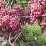 Розовые грозди Преображения