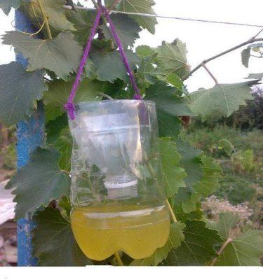 Ловушка для ос на винограднике