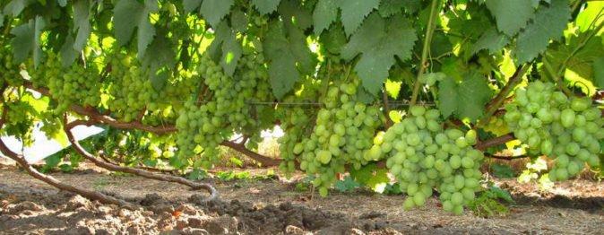 Виноград сорта Галахад