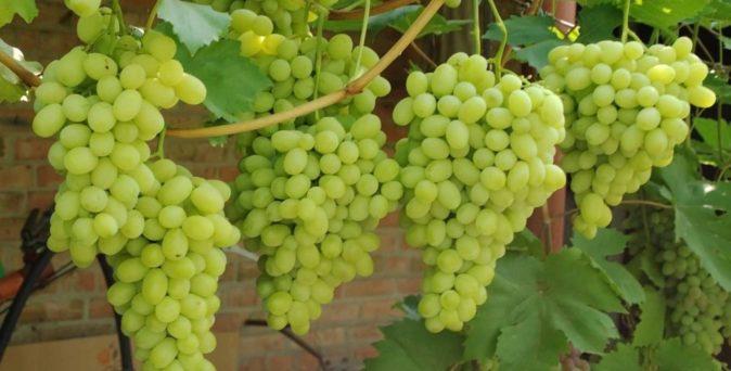 Поспевающий виноград Галахад