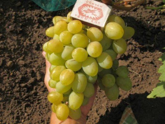 Спелые ягоды Галахада
