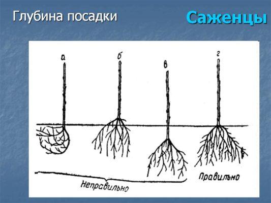 Три неправильных и правильный варианты глубины посадки саженца