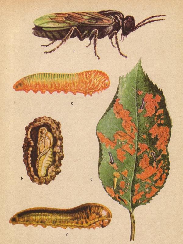 Вишнёвый пильщик: насекомое, личинка, кокон, повреждённый лист