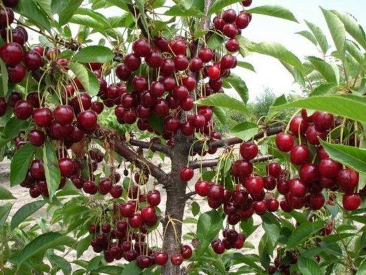 Плоды дерева вишни