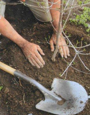 Посадка вишни в яму