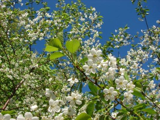 Цветение вишни Владимирская