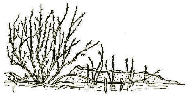 Рисунок куста Бессеи с прикопанными ветками