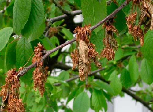 Ветка вишни, поражённая моннилиозом