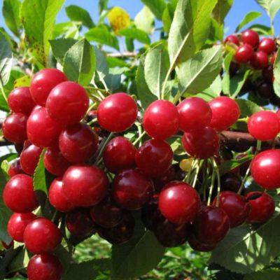 Плоды вишни Молодежная