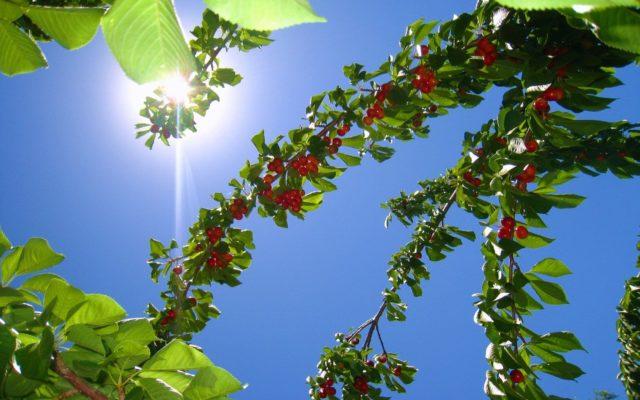 Солнце и вишня