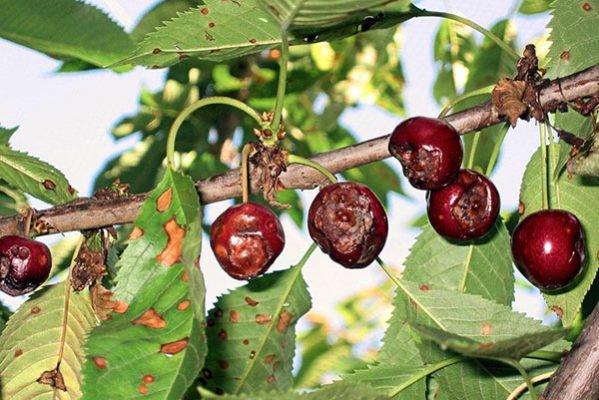 Поражённые монилиозом листья и плоды вишни