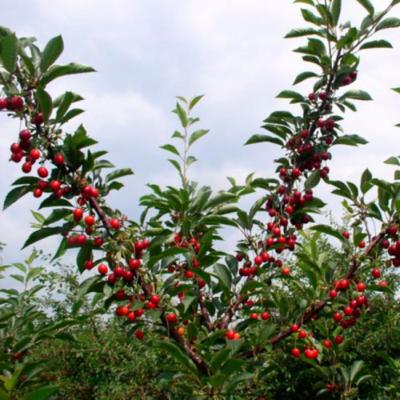 Дерево вишни сорта Живица