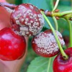 Монилиоз вишневых плодов